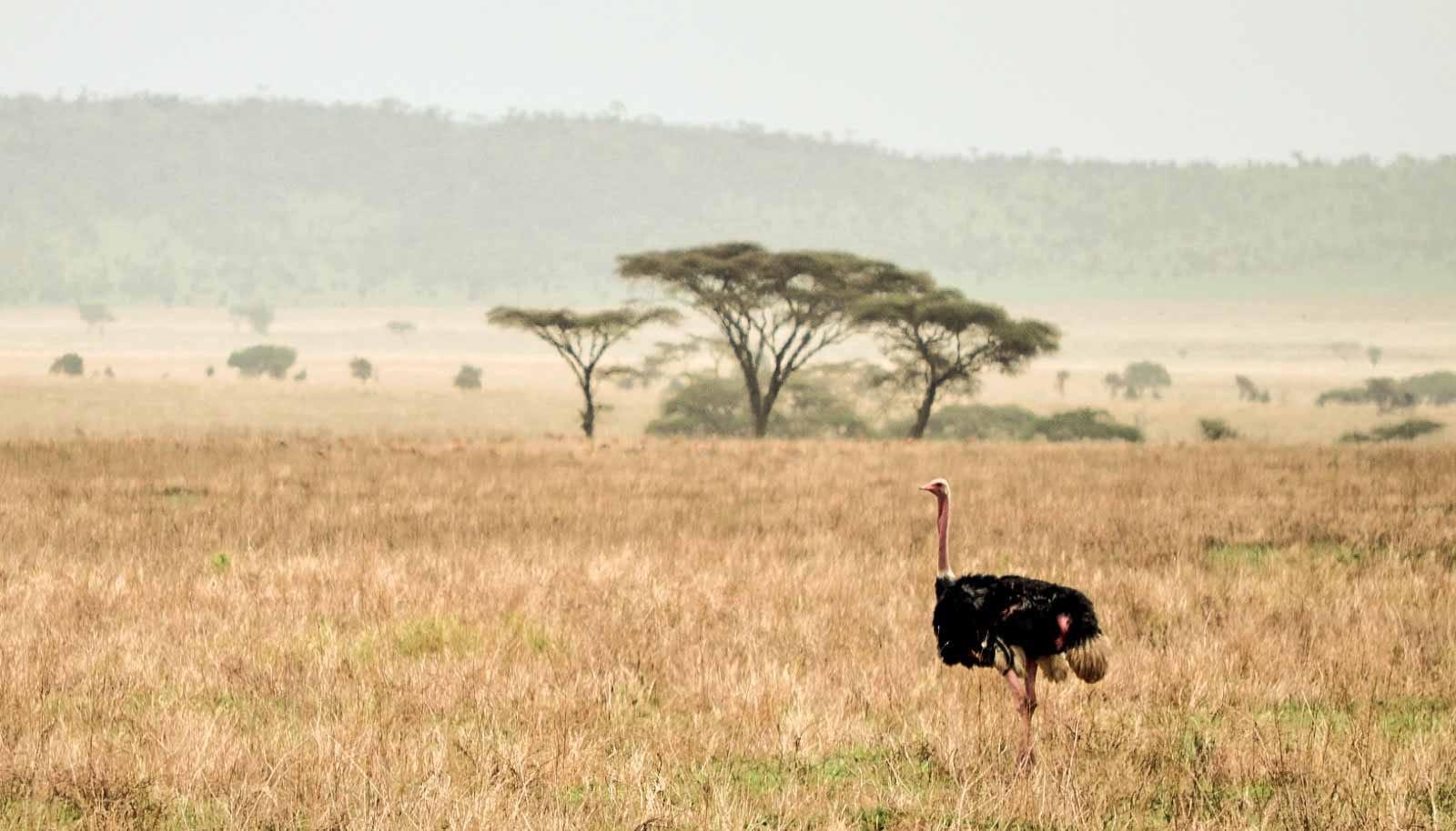 Curiosidades sobre las avestruces